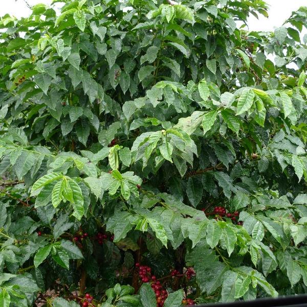 Typica (variety)