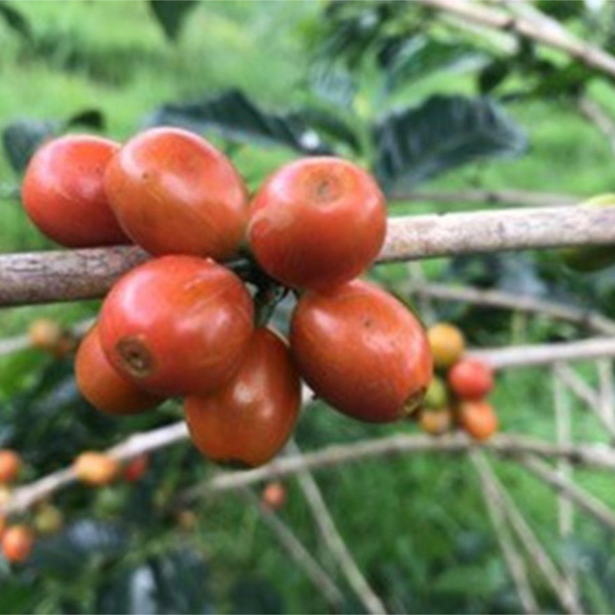 Orange Bourbon (variety)