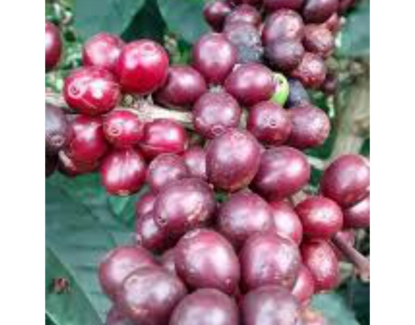 Catuai (variety)