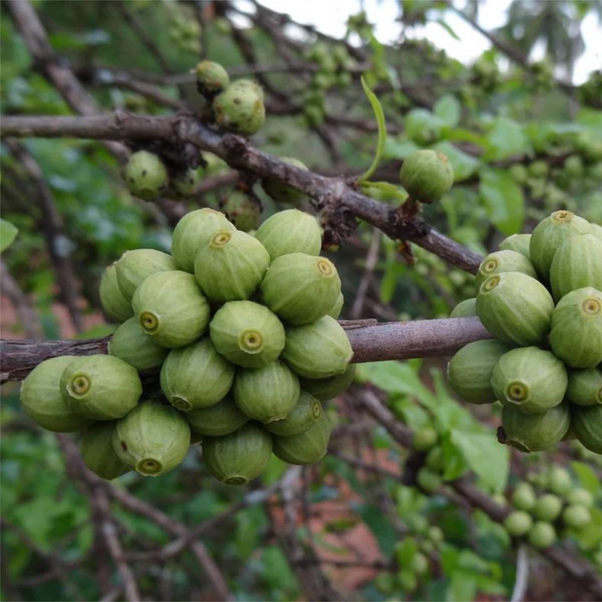 Aramosa (variety)