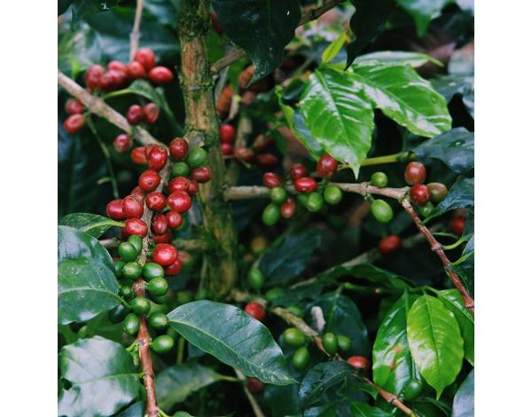 Parainema (variety)