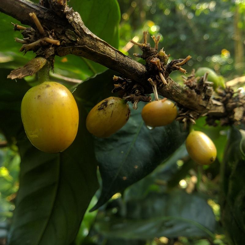Aromanis (variety)