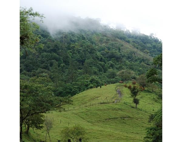 La Ponderosa, Panama (variety)