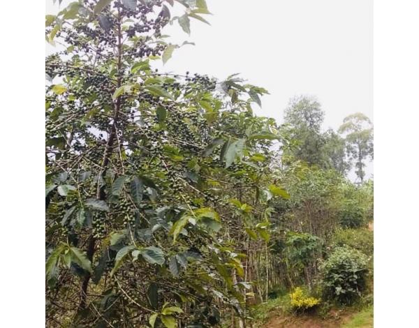 Ntarambo (variety)