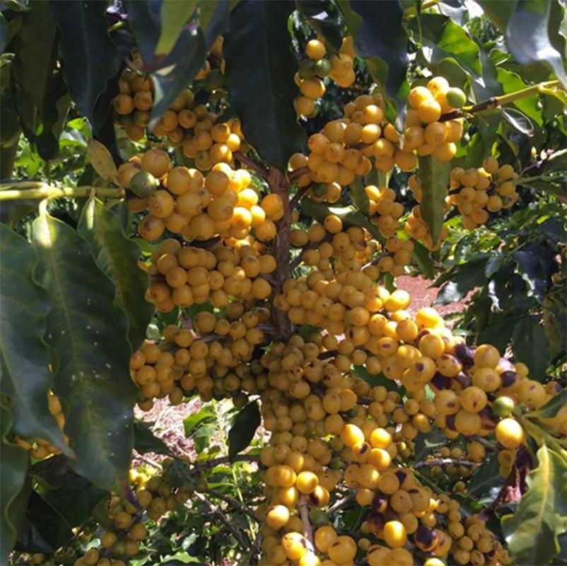 Santa Lucia Beija Flor (variety)