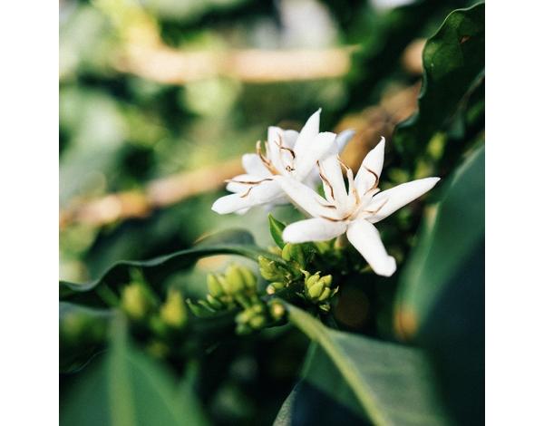 Santa Lucia Beija Flor (product)
