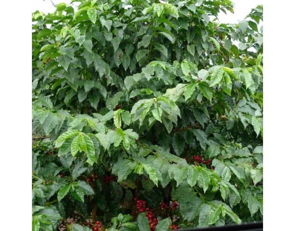 Muchagara AB - Kenya (variety)
