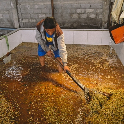 Pegasing - Indonesia (fermentation)
