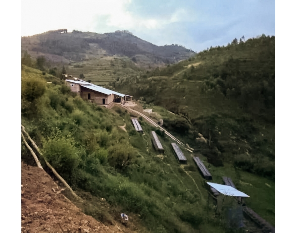 Bwenda, Lot 682 - Rwanda (variety)
