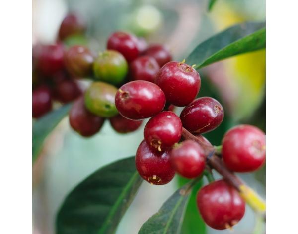 Sagara Lot 3 - Ethiopia (variety)