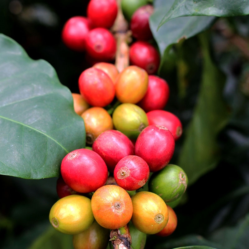 Finca Palmichal  - Colombia (variety)