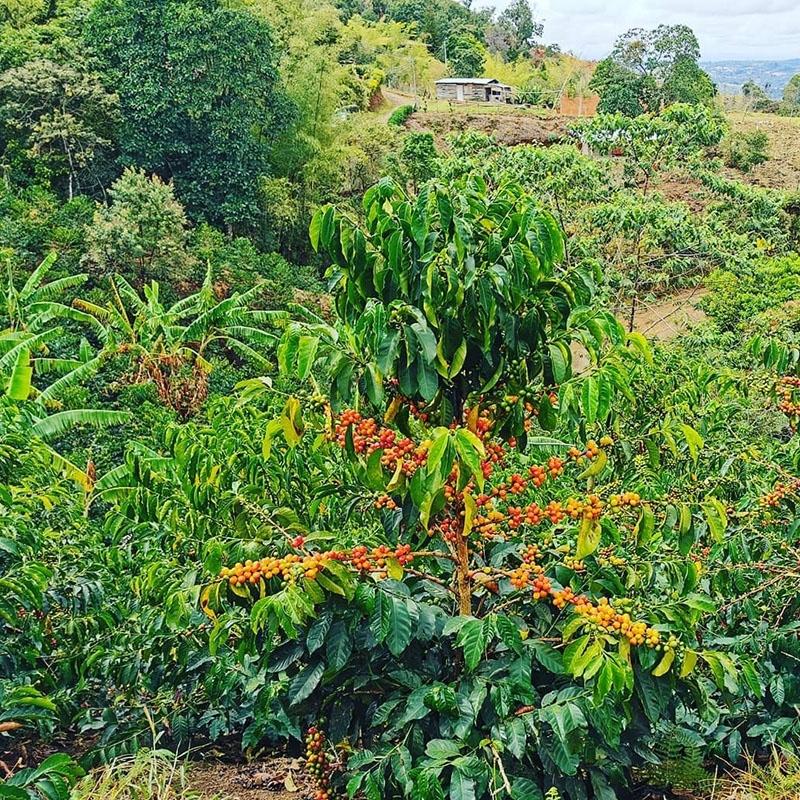 Finca El Paraiso - Colombia (variety)