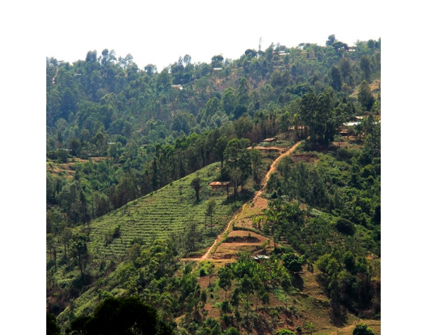 Ngurueri AA - Kenya (story)