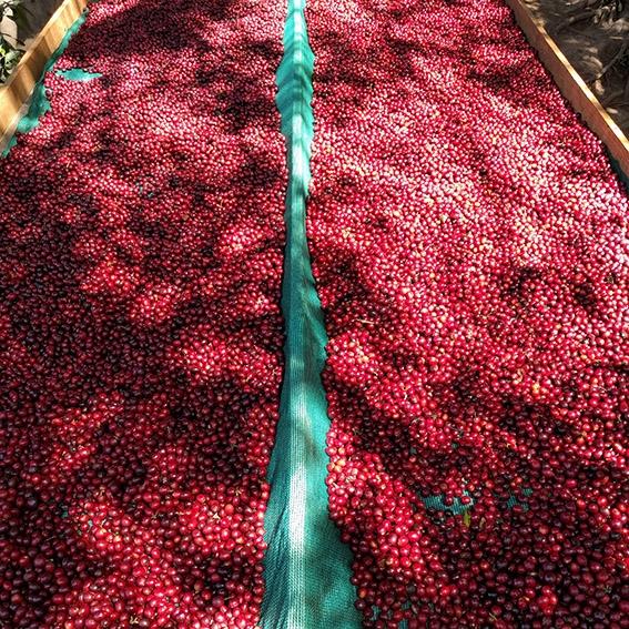 Finca El Salvador - El Salvador (fermentation)