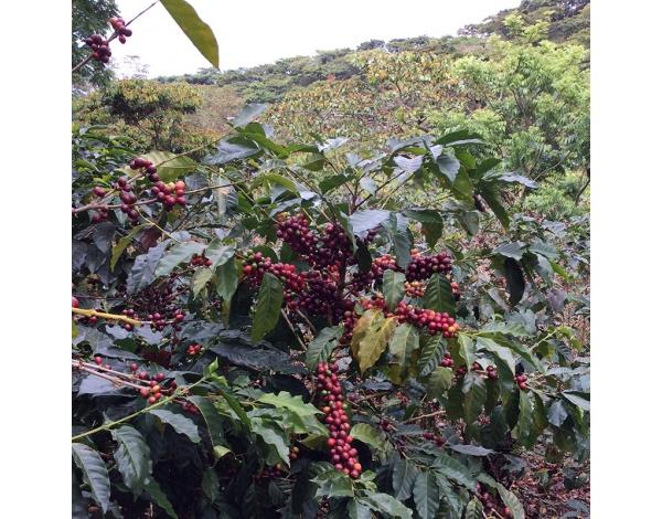 Finca El Salvador - El Salvador (variety)