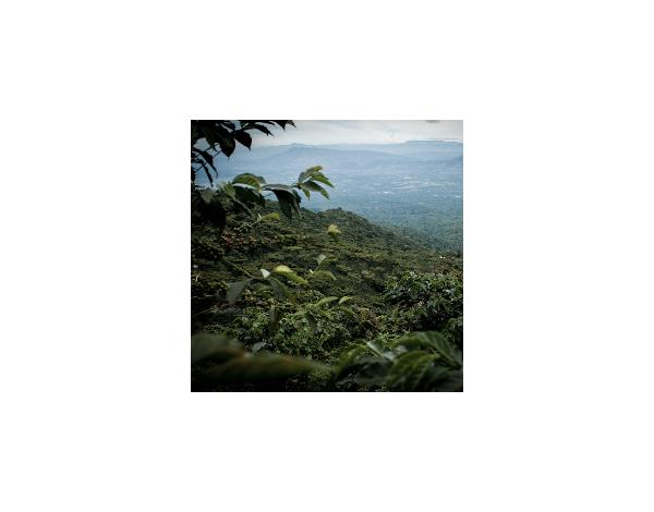 Finca El Salvador - El Salvador (product)
