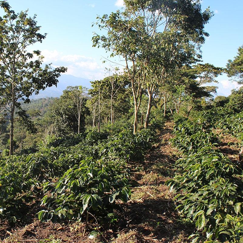 El Colibri Esmeralda - Honduras (variety)