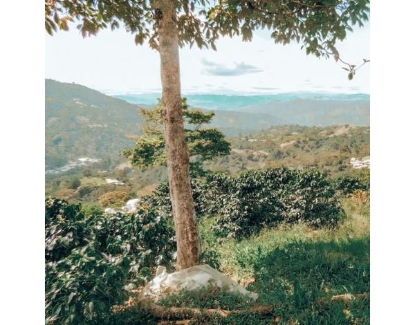 El Mirador Terra Nova - Colombia (variety)