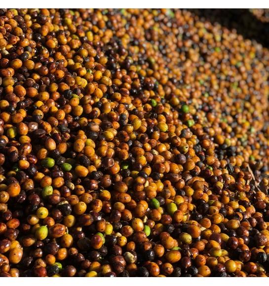 Sao Silvestre (Brazil) - variety
