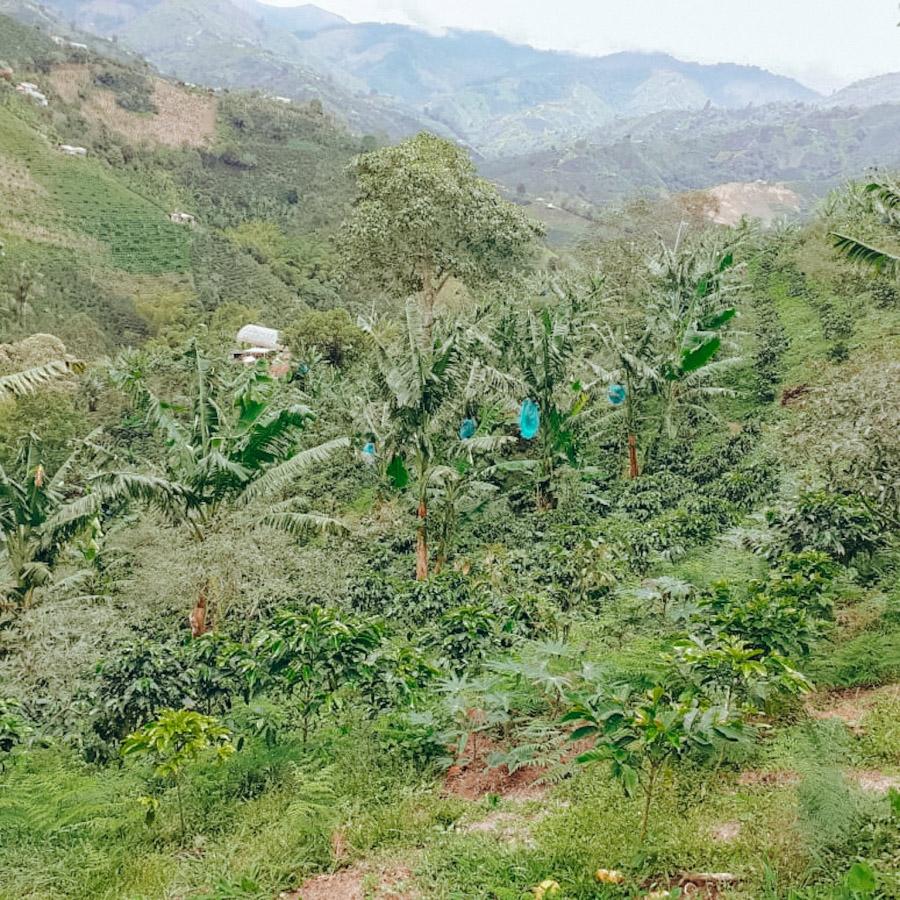 El Corozal (Colombia) - variety