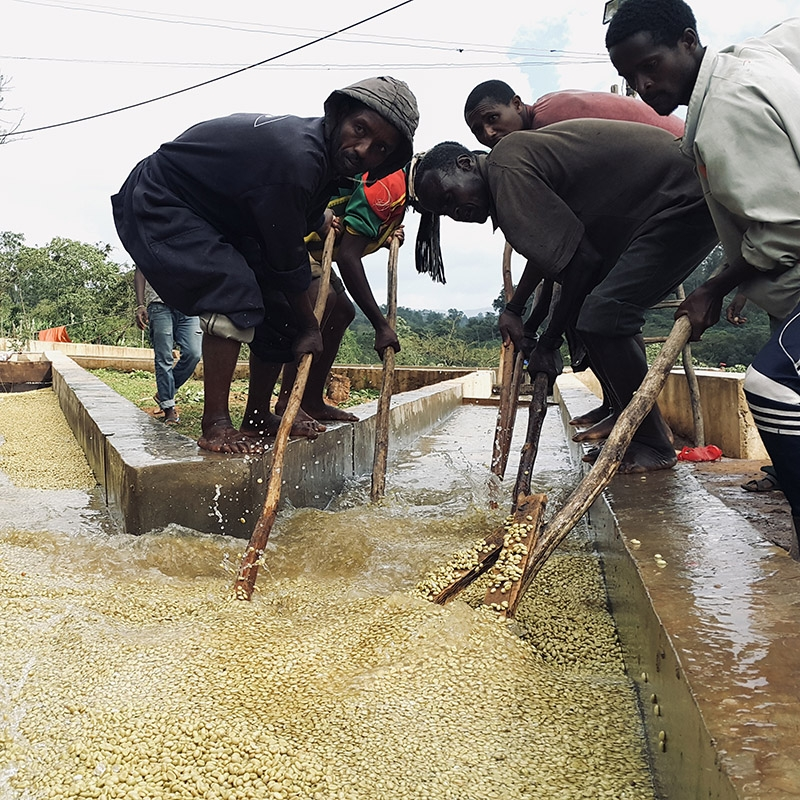 Gora Kone (Ethiopia) - fermentation
