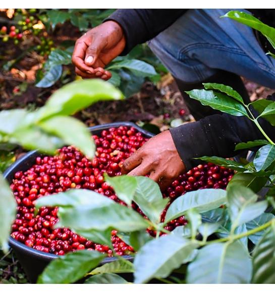 Doña Elvira (Panama) - variety