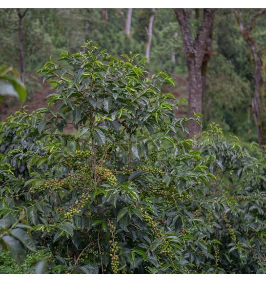 Odako (Ethiopia) - variety