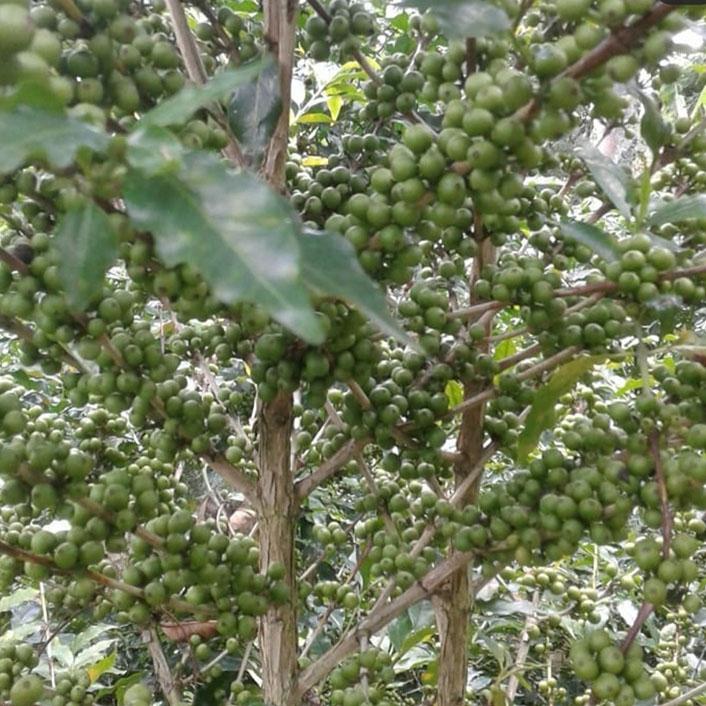 La Chorora (Ecuador) - variety