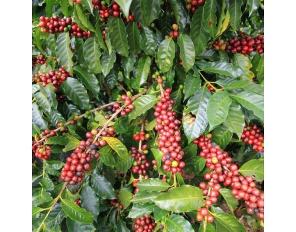 Caturra (variety)